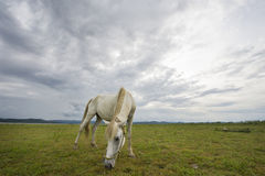 White horse eating grass on green field. Background with blue mountain and dark cloud royalty free stock photos