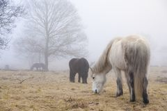White horse eating grass on a green field covered with fog in winter time. Winter landscape of horse eating grass on green field with a lot of fog Stock Photo