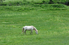 White horse eating grass Stock Images