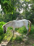 White Horse Eating Grass. A little white horse is eating grass under the green tree in shiny day Royalty Free Stock Photo