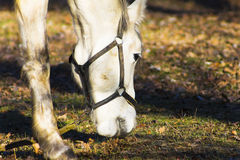 White horse eating grass in a pasture. Horizontal shot, theme - animals and nature Stock Photo