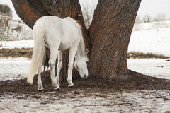 White horse eating grass that is under a tree Royalty Free Stock Images