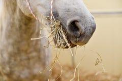 White horse eating hay inside a pen Stock Image