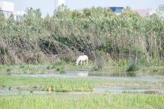 White horse eating Stock Image