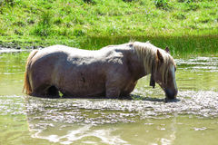 A white horse eats algae in a pond in the Catalan Pyrenees, Spai Royalty Free Stock Photo