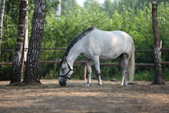 White horse eats plant, in farm. Outdoors Stock Image