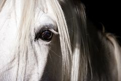 White horse eye Stock Photography