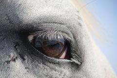 White horse eye. Beautiful white horse eye close up Stock Photography