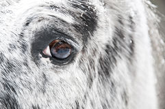 White horse eye close up Stock Photography