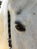 White Horse eye Royalty Free Stock Photography