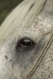 White Horse Eye Royalty Free Stock Photos