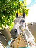 White horse face Stock Image