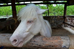 White horse. In a farm Stock Photography