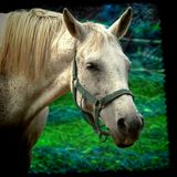 White horse farm Royalty Free Stock Image
