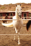 White horse at farm Royalty Free Stock Image