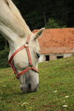 White horse feeding on grass Stock Images