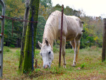 White Horse at Fenceline. A white horse stands at the fenceline of a rural pasture Royalty Free Stock Photography
