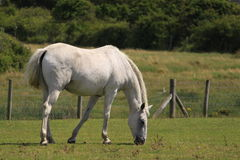 White horse in field. Side view of white horse grazing in green field Royalty Free Stock Photo