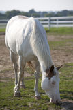 White horse in the field. Beautiful white horse in the field Royalty Free Stock Photo