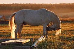 White horse on field. At sunset stock images