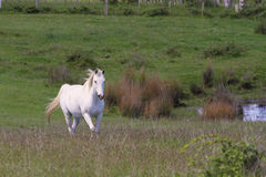 White horse in field. A white horse walking across a green field royalty free stock photos