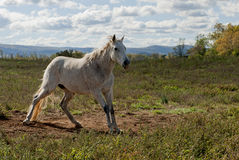 White horse in a field. White appaloosa horse in a field with a beautiful blue sky Royalty Free Stock Photography