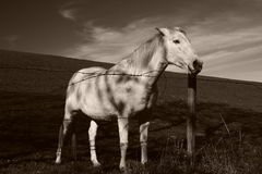 White horse in field. Black and white view of white horse stood in countryside field with hill in background Royalty Free Stock Image