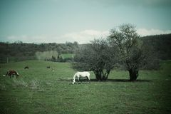 White horse on field Royalty Free Stock Images