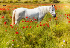 White horse in a field of blooming poppies Stock Photography