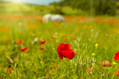 White horse in a field of blooming poppies Royalty Free Stock Images