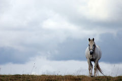 White horse in a field. Royalty Free Stock Photo