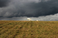 White horse in a field. Royalty Free Stock Photography