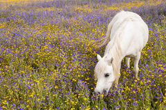 White horse on a field Royalty Free Stock Photo