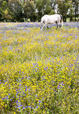 White horse on a field Royalty Free Stock Photography