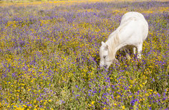 White horse on a field Stock Image