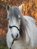 White horse in a field with grey maine stock photo