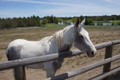 White horse in field Royalty Free Stock Images