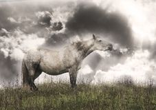 White horse in the field looking epic. Wild  white  horse in the field Stock Photography