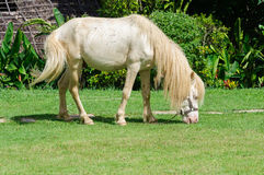 White horse in field. Single white horse in field Royalty Free Stock Image
