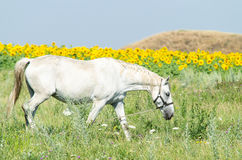 White horse on the field. With sunflowers Royalty Free Stock Photos