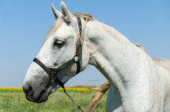 White horse on the field. With sunflowers Stock Photo