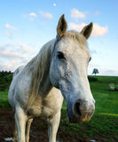 White horse in the field Royalty Free Stock Photos