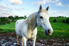 White horse in the field Stock Photo