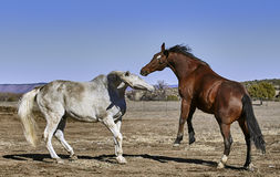 White Horse Fighting with bay Colored Horse Stock Image