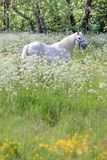 White horse in flower meadow stock photography