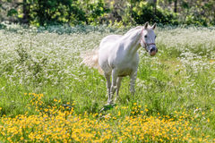 White horse in flower meadow Royalty Free Stock Photography