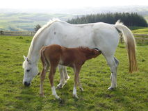 White horse and foal. A view of a white mare (dam) with her nursing foal Stock Photo