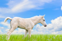 White horse foal in grass on sky background Royalty Free Stock Image