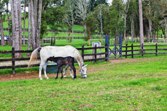 White horse and foal grazing in fenced lawn Royalty Free Stock Photo