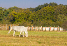 White horse with a foal grazing grass. Royalty Free Stock Image